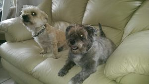 Cairn Terrier Tommy en Doerak noodfonds