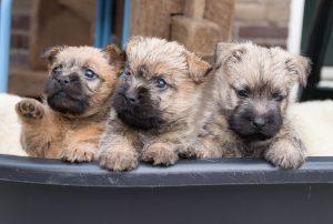 Drie Cairn terrier pups
