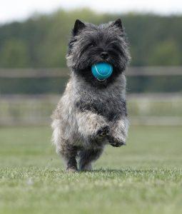 Cairn terrier met tennisbal