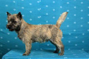 Splinterhill's Fire Cracker (Cairn Terrier)