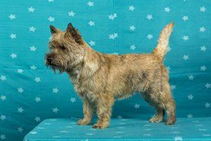 Ken Sigel's Famous Tartan (Cairn Terrier)
