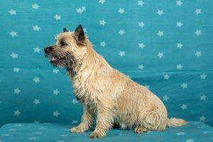 Splinterhill's Fairy Tale (Cairn Terrier)
