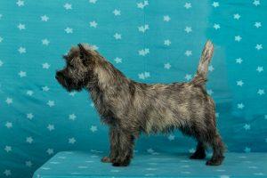 New Kid on the Rock v. Glen Spain Cairn Terrier