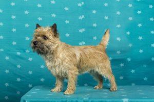 Kind Of Innocence v. Glen Spain (Cairn Terrier)