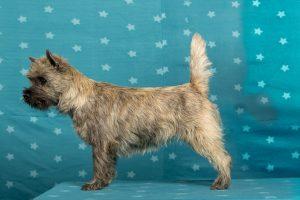 Wicked Fellows Shade Dancer (Cairn Terrier)