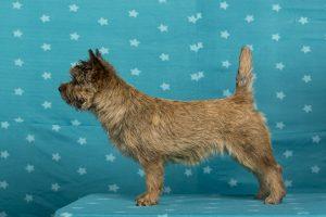 Wicked Fellows Jump for a Hug (Cairn Terrier)