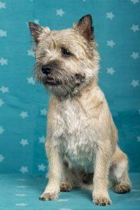 Hammermaatjes Mister Murphy (Cairn Terrier)