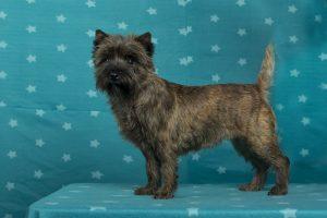 Ken Sigel's Bourbon (Cairn Terrier)