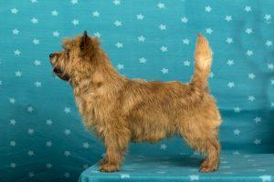 Splinterhill's Dutch Gold (Cairn Terrier)