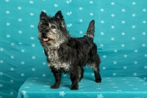 Wicked Fellows Kaye for Pleasure (Cairn terrier)