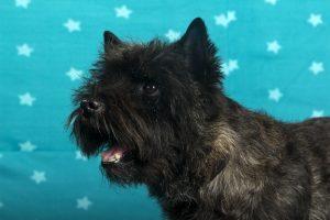 Jump for Joy's Kenspeckle Jock (Cairn Terrier)
