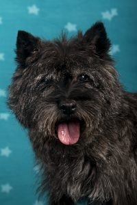 Quoymeasson's Lest Best (Cairn Terrier)