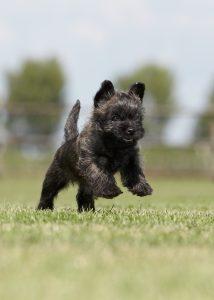 Vrolijke cairn terrier pup